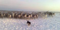 Border Collie herding reindeer in Finland