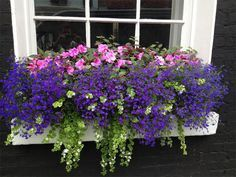 purple flowers for window boxes   Window Boxes