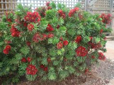 The Dwarf Bottlebrush is a drought tolerant and moderately frost tolerant plant John' is a dwarf cultivar which produces masses of dark red flowers, and has attractive blue green foliage with a slightly soft, furry appearance. Florida Landscaping, Landscaping Plants, Landscaping Ideas, Houston Landscaping, Evergreen Shrubs, Trees And Shrubs, Evergreen Bush, Bottlebrush Plant, Drought Tolerant Shrubs