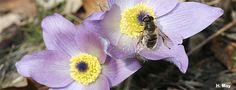 Liste von Wildblumen für Bienen, Schmetterlinge und Hummeln.