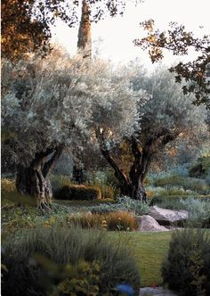 Beautiful old olive trees