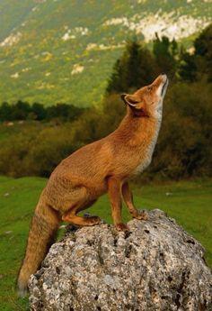 Branchi, Marco - Fox