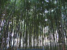 bosque de bambú Woods, Impressionism