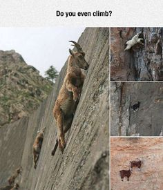 Hipster Goats Are Crazy
