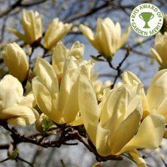 Magnolia Brooklynensis Elizabeth Tree
