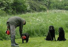 Working multiple gundogs #gundog training