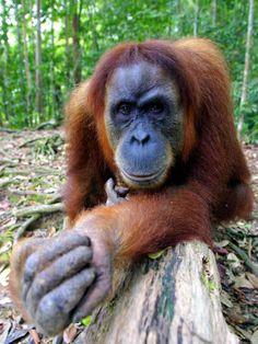 Female Oragutan, Gunung Leuser National Park, Bukit Lawang, North Sumatra, Indonesia Stampa fotografica