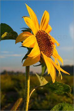 Edith Albuschat - Sonnenblume im Morgenlicht