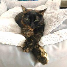 #siesta #chilling #amy #cats #catsofinstagram #instacat #ilovemycat #schildpatt #tartaruga Tortoise Shell, Chilling, Adorable Animals, Animal Kingdom, Cats Of Instagram, Amy, Kittens, Pictures, Gatos