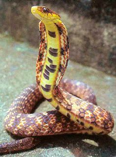 Big eyed mountain keelback ~ Pseudoxenodon macrops