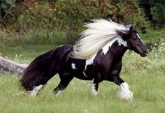 Love the white mane and black tail combo.  Gorgeous Vanner!!