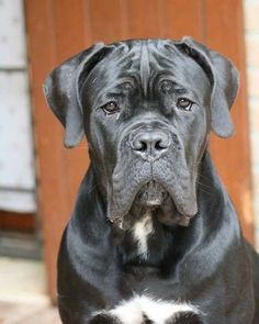 From ' Cane Corso Europe ' Cane Corso Italian Mastiff, Cane Corso Mastiff, Cane Corso Dog, Mastiff Puppies For Sale, English Mastiff Puppies, Mastiff Dogs, Huge Dogs, Giant Dogs, British Mastiff