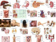 Las emociones y su relacion con nuestros organos El Hígado: Está a cargo de descomponer y de almacenar y reconstruir la materia. Si la vida de una per...