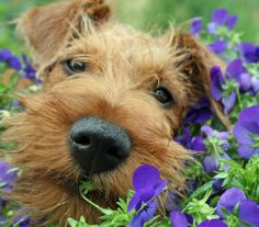 Irish terrier puppy from The Daily Puppy.com.  So cute!!