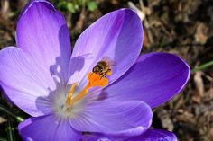 Krookus, Kukka, Sulje, Mehiläinen, Frühlingsanfang