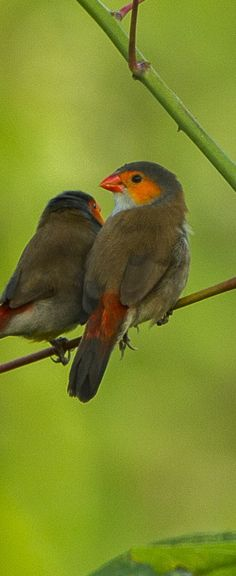 Orange cheeked Waxbills ~ Kukum National Park, Ghana