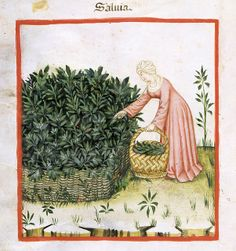 raccolta delle bacche Tacuina sanitatis (XIV secolo)