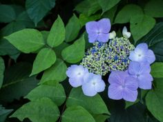Small Facts about Flower of Season; Hydrangea