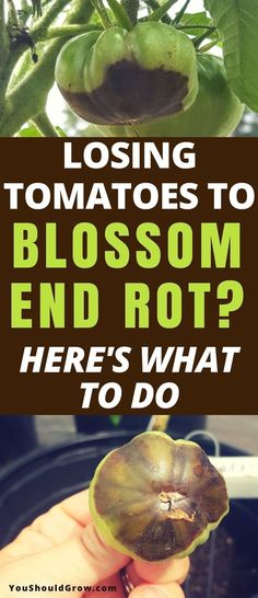 Growing tomatoes: How to deal with blossom end rot. Gardening should be fun! Don't stress over losing homegrown tomatoes anymore. Find out what treatments work and what doesn't. Gardening For Beginners | Organic Gardening | Backyard Vegetable Gardens #gardeningtips via @youshouldgrow #vegetablegardeningbeginner #tomatosgardening #organicgardenhowto #organicgardening #gardeningtomatos