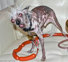 Saturday Night Social: Competition Is Fierce for This Year's 'World's Ugliest Dog' Pageant Ugly Cat, Ugly Dogs, World Ugliest Dog, Ugliest Dog Contest, Dog Competitions, Saturday Night, Beautiful Dogs, I Love Cats, Being Ugly