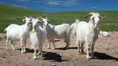 Learn Mongolian secrets to raising cashmere goats; why Mongolian cashmere is the softest in the world; and how it gets from the Gobi cashmere factories to a shop near you! Mongolia, English Style, Ibex Goat, Holland, Musk Ox, Spinning Wool, Cashmere Wool, Cashmere Cardigan, Downy