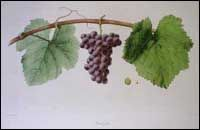 Classic Image of Pinot Gris (Pineau Gris) Grapes The white Pinot Gris grape is a variant of the red Pinot Noir; the two usually grow alongside each other. Pinot Gris probably originated in the Burgundy region of eastern France. Written references to Pinot varieties date back to the thirteenth century. Pinot Gris occurs in the Burgundy region of eastern France and the Alsace region of western France. It is found in Germany, Italy, Central and Southeast Europe, in Australia, and in the USA