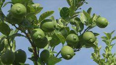 Gardening Australia- cold climates citrus