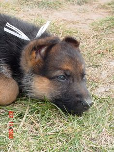 For many dog breeds, the difficult part of raising a puppy is over by the time the dog is 12 months old. For the German Shepherd puppy owner, however, the growing pains are just beginning.