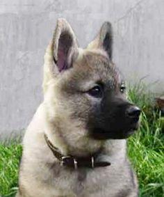 Norwegian Elkhound Club of Great Britain