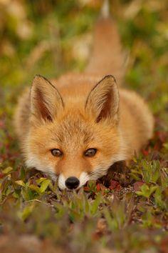 I need rest #foxes #fox #cute #animals #cubs #cutie #wow #lol #gift #gifts #shirt #foxy #furry #animal #fuchs #füchse #raposo #renard