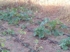 Los calabacines crecen súper rápido.