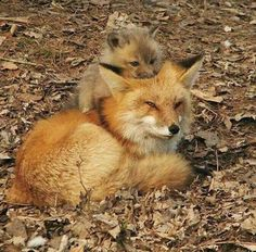 Red Fox Kit snuggling down on top of his Mama's head! Animals And Pets, Baby Animals, Funny Animals, Cute Animals, Wild Animals, Beautiful Creatures, Animals Beautiful, Wolf Hybrid, Fox Pictures