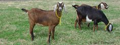 Add to Favorites Knowing the facts about goats and having the ability to recognize goat heat will equip you to take appropriate measures to either get your doe bred or keep her … Breeding Goats, Female Goat, Nubian Goat, Goat Care, Raising Goats, Goat Farming, Urban Homesteading, Baby Goats, Alpacas