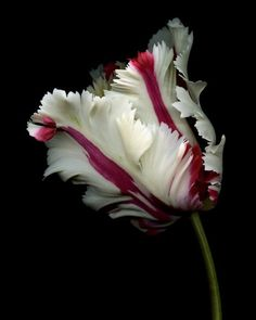 Red and White Parrot Tulip by Nessa