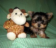 I will have a tiny teacup yorkie