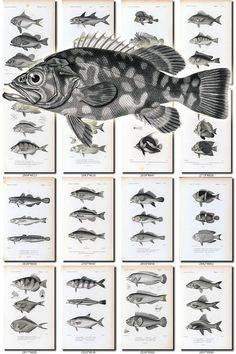 FISHES-40-bw Collection of 186 vintage images Trout Perch Bream Carp Eel pictures High resolution digital download printable water animals           data-share-from=listing        >           <span class=etsy-icon