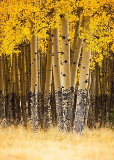 beautiful birch trees with golden leaves