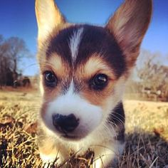 Why? | Don't Be Sad, Look At These Corgi Puppies