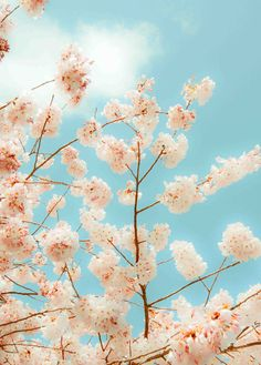 Pink CHERRY BLOSSOMS Nature Photography Vintage by susannajarian