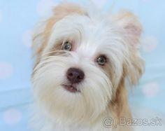 Yorkshirský teriér choco golddust - 1 Biewer Yorkie, Dogs, Animals, Animales, Animaux, Pet Dogs, Doggies, Animal, Animais