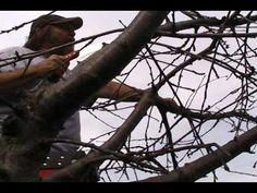 Cherry Tree Pruning - YouTube