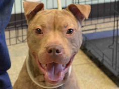 GONE - 03/14/15 Brooklyn Center   My name is PHARAOH. My Animal ID # is A1029953. I am a neutered male br brindle am pit bull ter mix. The shelter thinks I am about 3 YEARS old.    For more information on adopting from the NYC AC&C, or to  find a rescue to assist, please read the following: http://urgentpetsondeathrow.org/must-read/