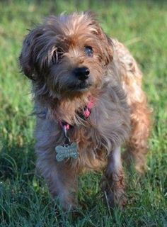 Sunrise is a 8-9 yea old female yorkie and she weighs about 10 pounds. Sunrise is basically blind but has learned the layout of the house, goes out by herself..She does need eye cream 2x a day...She is fostered in the Orlando area, and her adoption donation is $150.  Florida Little Dog Rescue Group - Adoptable Dogs