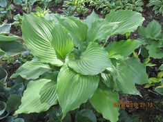 Lakeside Khum Kaw Hosta - With genes from hypoleuca and 'Lakeside Ripples', this rarely seen hybrid from Mary Chastain is sure to be a monster!  The glossy, green leaves have strongly ruffled margi...