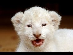 6 Baby White Lions - Were you feeling lousy? Watch the video. Bet you're not now.