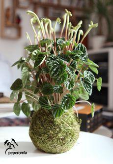 Kokedama Peperomia « Plantapolis