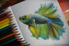 Beta Fish with colored pencils. Pencil  for 5 hours.