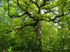 Le chêne des Hindrés, Paimpont, Destination Brocéliande, Bretagne