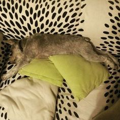 お正月疲れ(笑)  #RYU#シュナウザー#ドッグ#犬#気流Life