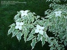 'Wolf Eyes' Kousa Dogwood